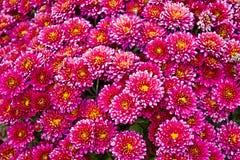 Fresh autumn flowers Stock Photos
