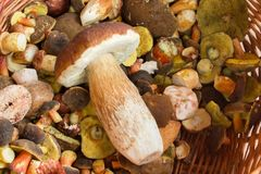 Fresh autumn mushroom founded in forest Royalty Free Stock Photography