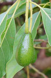 Fresh avacado and leaf. The close-up of fresh avacado on tree, taken in USF garden, Florida, USA. The avocado is a tree native to Mexico and Central America Stock Photos