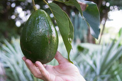 Fresh avacado on tree Stock Photo