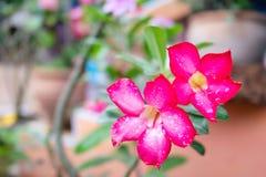 Fresh Azalea flower after rain on background. Fresh Azalea flowers after rain on background Royalty Free Stock Image