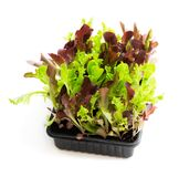 Fresh baby leaf salad lettuce in black tray isolated on white stock photo