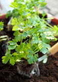 Fresh baby parsley Royalty Free Stock Images