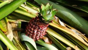 Fresh baby pineapple on tree Royalty Free Stock Image