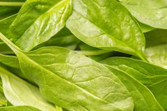 Fresh Baby spinach leaves Stock Image