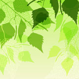 Fresh background of  green birch leaves Stock Image