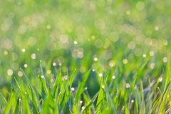 Fresh Background - green grass with drops of dew Royalty Free Stock Image