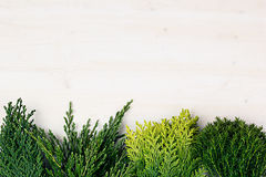 Fresh background of young green conifer branches as border with copy space on white wooden board background. Stock Images