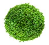 Fresh ball shaped bush isolated on white background Stock Image