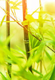 Fresh bamboo background Stock Photography