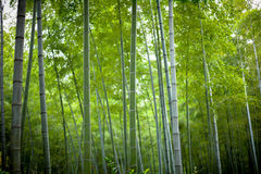 Fresh bamboo. A beautiful and pure and fresh green bamboo Royalty Free Stock Image
