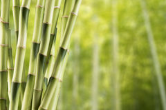 Fresh Bamboo Stock Images