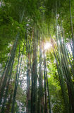 Fresh  bamboo forest Stock Photo