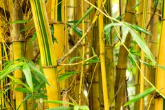 Fresh Bamboo forest Royalty Free Stock Images