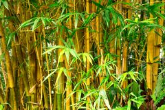 Fresh Bamboo forest Royalty Free Stock Photo