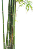 Fresh bamboo green isolated on white background Royalty Free Stock Photos