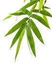Fresh bamboo leaves border with water drop isolated on white background, botanical zen forest, tropical spa decoration, backdrop. With copy space stock image