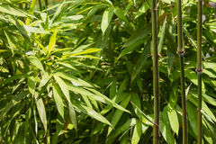 Fresh bamboo leaves and stalks. Close up of fresh bamboo leaves and stalks Stock Photo
