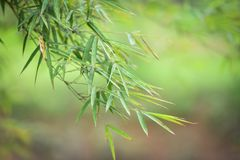 Leaves Bamboo Royalty Free Stock Photos