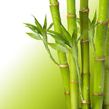 Fresh Bamboo Royalty Free Stock Image