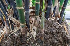 The fresh bamboo shoot Stock Photos