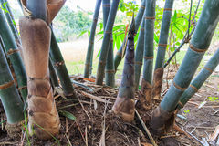 The fresh bamboo shoot Royalty Free Stock Photos
