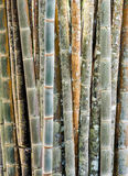 Fresh bamboo stem Stock Photography