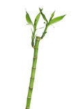 Fresh bamboo stem with leaves Stock Image