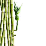 Fresh Bamboo Royalty Free Stock Photos