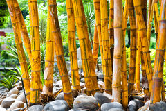 Fresh bambu group in the garden. Nepal Royalty Free Stock Photo