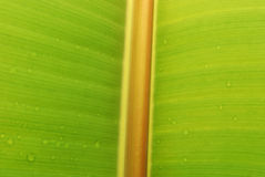 Fresh banana leaf. A close up shot of a fresh banana leaf with water droplets Royalty Free Stock Photos