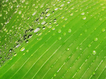 Fresh banana leaf with drops. Close up shoot banana leaf and drops on it. Selective focus Royalty Free Stock Image