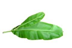 Fresh Banana Leaf Stock Photo