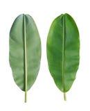 Fresh Banana Leaf Isolated On White Background. Royalty Free Stock Photo