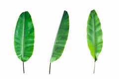 Fresh Banana Leaf Isolated Stock Photo