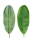 Fresh banana leaf isolated on white background. Royalty Free Stock Photo