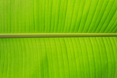 Fresh Banana Leaf Royalty Free Stock Photos