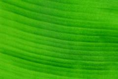 Fresh Banana leaves. On background stock images