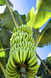 Bananas on banana plant Stock Images