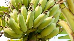 Fresh bananas on banana tree Royalty Free Stock Photography
