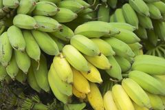 Fresh bananas just harvested in Chumphon province, Thailand. Stock Photo