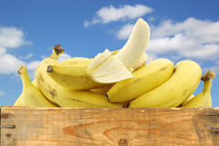 Fresh bananas and a peeled one Royalty Free Stock Image