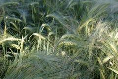 Fresh barley Royalty Free Stock Image