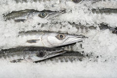 Fresh Barracuda Stock Images