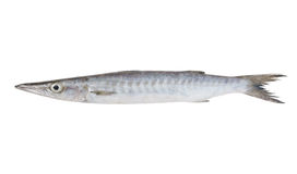 Fresh barracuda fish. On white background Royalty Free Stock Images