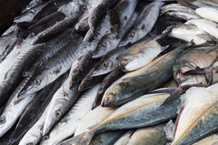 Fresh barracuda fish on ice Stock Image