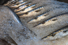 Fresh barracuda at a fish market Stock Image