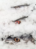 Fresh Barracuda on Ice Royalty Free Stock Image