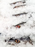 Fresh Barracuda on Ice Stock Photo