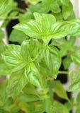 Fresh basil stock images
